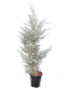 Cupressus arizonica Fastigiata Glauca - total height 180+cm - pot Ø 35 cm [pallet]