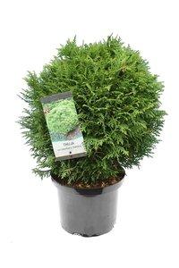 Thuja occidentalis Danica - total height 40-50 cm - pot 5 ltr