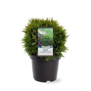 Thuja occidentalis Danica - total height 30-40 cm - pot 3 ltr