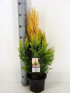 Thuja Plicata '4ever Goldy' - total height 60-70 cm - pot 3 Ltr