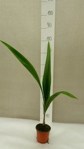 Syagrus romanzoffiana sp. Santa Catarina - total height 70-90 cm - pot Ø 14 cm