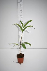 Wodyetia bifurcata - total height 30-50 cm - pot Ø 13 cm