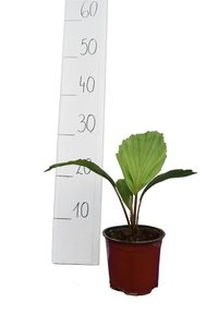 Arenga australasica - total height 30-40 cm - pot Ø 14 cm