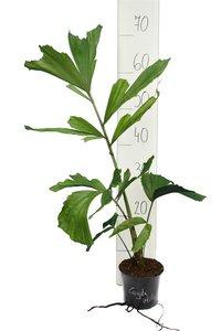 Caryota mitis - total height 40-60 cm - pot Ø 14 cm