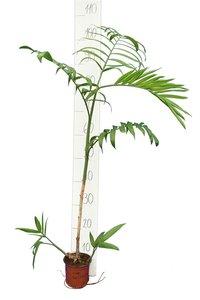 Chamaedorea seifrizii - total height 70+ cm - pot Ø 13 cm