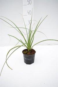Dasylirion miquihuanensis - total height 30-40 cm - pot Ø 13 cm