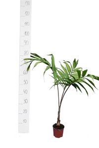 Dypsis lanceolata - total height 30-40 cm - pot ø 13 cm