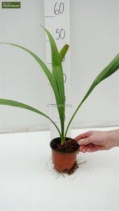 Sabal palmetto - total height 30-50 cm - pot Ø 13 cm