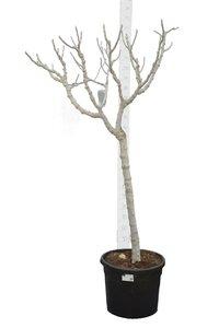 Ficus carica Brown Turkey