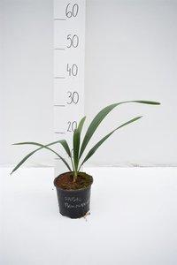 Sabal bermudana - total height 30-40 cm - pot Ø 13 cm
