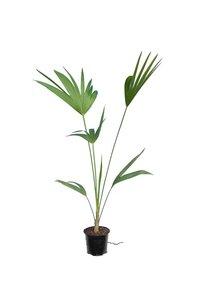 Thrinax parviflora -  totale hoogte 80-100 cm - pot Ø 12 cm