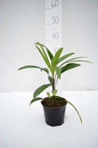 Rhapis excelsa - total height 30-40 cm - pot Ø 13 cm