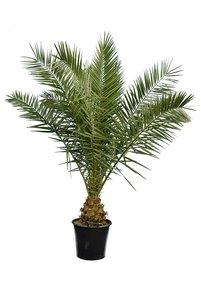 Phoenix canariensis - total height 200+ cm - pot Ø 40 cm [pallet]