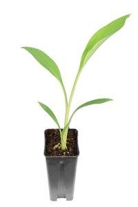 Musella lasiocarpa set of 5 - pot 0,7 ltr