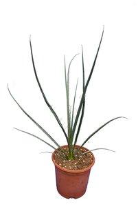 Hesperaloe parviflora Rubra - pot Ø 17 cm