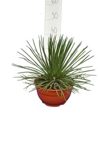 Agave geminiflora - pot Ø 20 cm