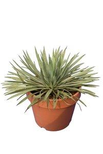 Yucca whipplei - total height 30-40 cm - pot Ø 15 cm