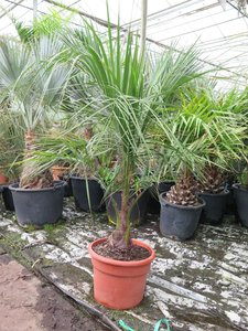 Butia nabonnandii (Butyagrus) - trunk 15-30 cm - total height 130+ cm - pot Ø 40 cm [pallet]