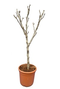 Ficus carica Brown Turkey - fat trunk - circumference 10-13 cm - total height 100-120 cm - pot Ø 31 cm