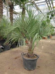 Butia catarinensis - trunk 15+ cm - total height 150+ cm - pot Ø 50 cm [pallet]