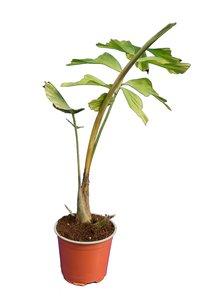 Caryota obtusa - total height 50+ cm - pot Ø 13 cm