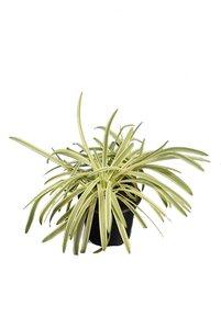 Liriope muscari variegata - total height 30-50 cm - pot Ø 17 cm