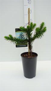 Araucaria araucana - total height 35-45 cm - pot 3 ltr