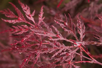 Acer palmatum Dissectum Garnet - total height 50-60 cm - pot 3 ltr