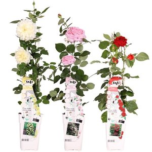 Rosa Crazy in Love climbers - Set of 3: Pink + Red + Vanilla - pot 2 ltr