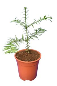 Araucaria bidwillii - pot Ø 17 cm