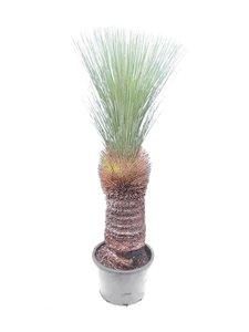 Xanthorrhoea glauca - trunk 60-70 cm [pallet]