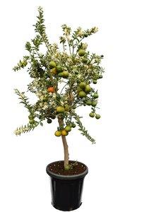 Citrus myrtifolia - trunk 50-70 cm - total height 150-170 cm - pot 40 cm [pallet]