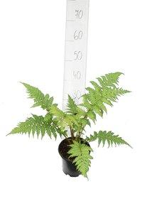Cyathea cooperi - pot Ø 15 cm