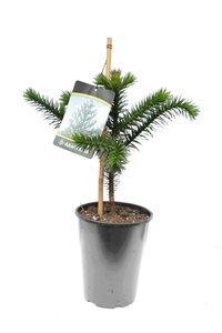 Araucaria araucana - total height 45-55 cm - pot 4 ltr