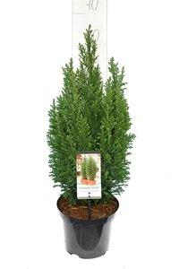 Chamaecyparis lawsoniana Elwoodii - total height 60-80 cm - pot 3 ltr