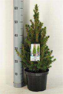 Picea glauca Conica - 3 ltr pot - 60-80 cm