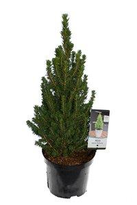 Picea glauca Perfecta 3 ltr