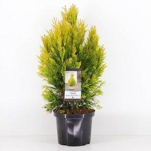 Thuja Plicata '4ever Goldy' - total height 80-100 cm - pot 5 ltr
