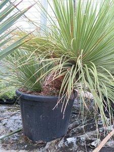 Dasylirion serratifolium - trunk 20-30 cm - total height 140-160 cm - pot Ø 60 cm [pallet]