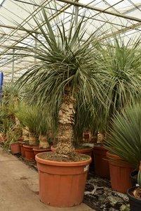 Nolina longifolia - trunk 70-90 cm - total height 170+ cm - pot 70 ltr