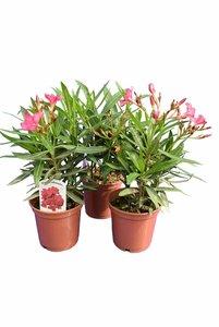 Nerium oleander deep pink