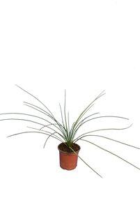 Dasylirion quadrangulatum - pot Ø 13 cm