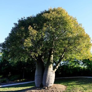 Brachychiton rupestris - shrub - total height 50-60 cm - pot Ø 17 cm