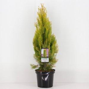 Platycladus orientalis Pyramidalis Aurea - total height 50-70 cm - pot 3 ltr