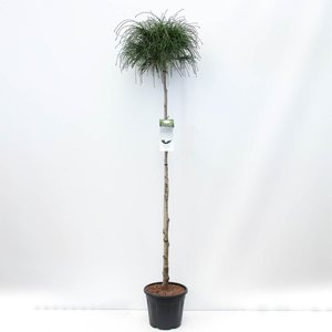 Thuja plicata Whipcord trunk - total height 220 cm - pot 30 ltr [pallet]