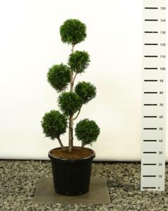 Thuja plicata Martin Multibol - total height 125-150 cm - pot Ø 36 cm