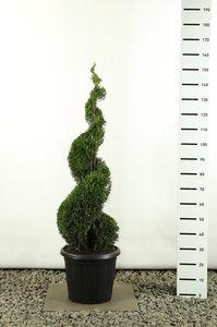 Thuja occidentalis Smaragd Spiral - total height 125-150 cm - pot 20 ltr