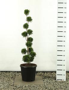 Thuja occidentalis Golden Smaragd Multibol - total height 125-150 cm - pot 20 ltr