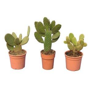 Cacti mix set of 3 - total height 30-40 cm - pot Ø 15 cm
