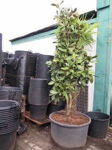 Magnolia grandiflora - total height 300+ cm - pot Ø 90 cm